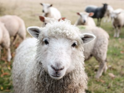 Sheep image in an interview about community