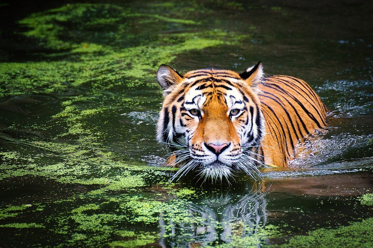 A tiger in a blog about poetry